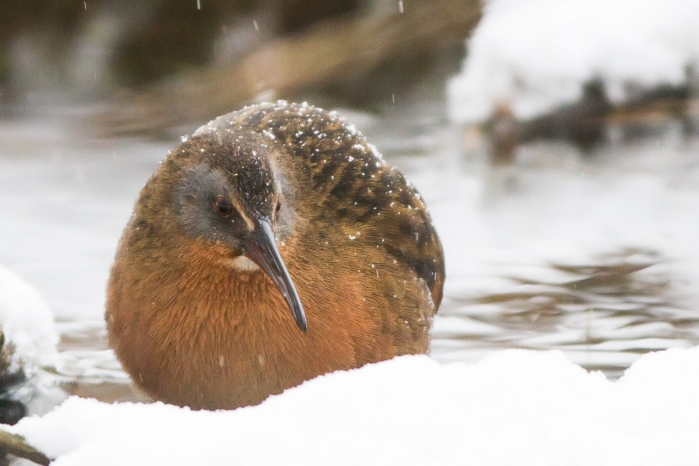 bird blogs bird blog birding blog archive virginia rail at