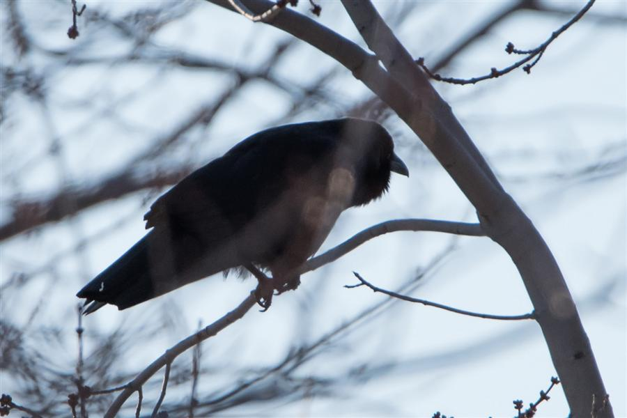 Bird blogs bird blog birding blog archive rochester for Fish crow call