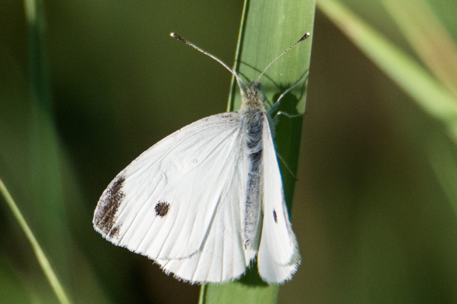 image of Cabbage White