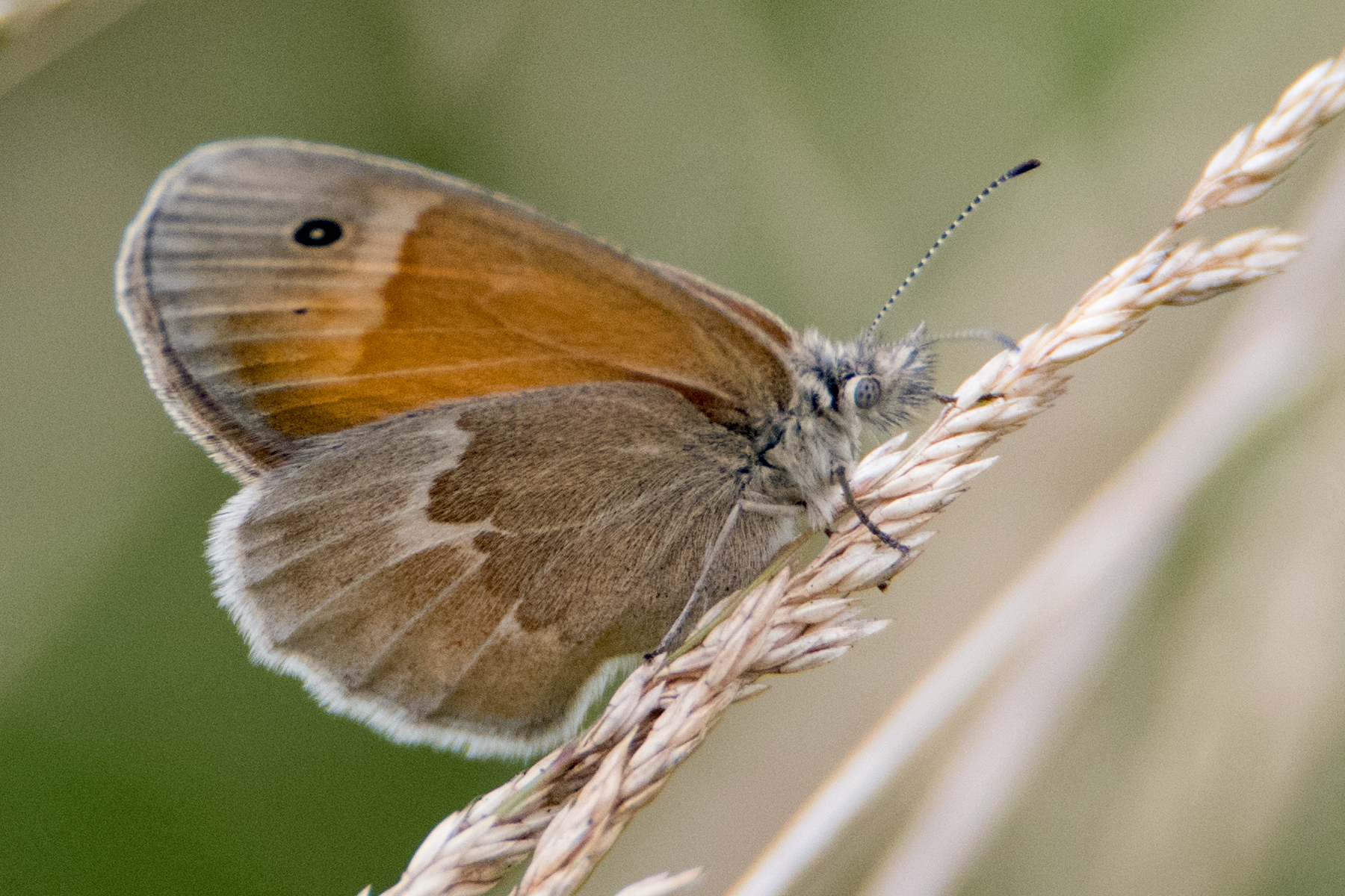 image of Common Ringlet