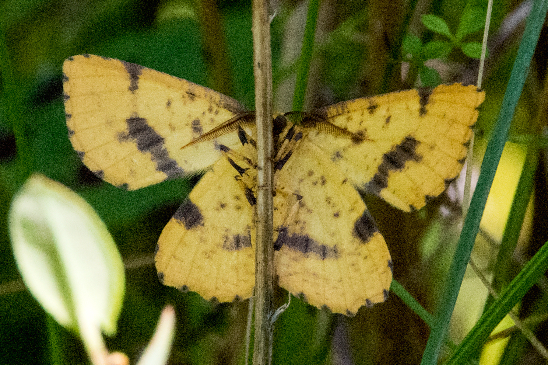 image of False Crocus Geometer