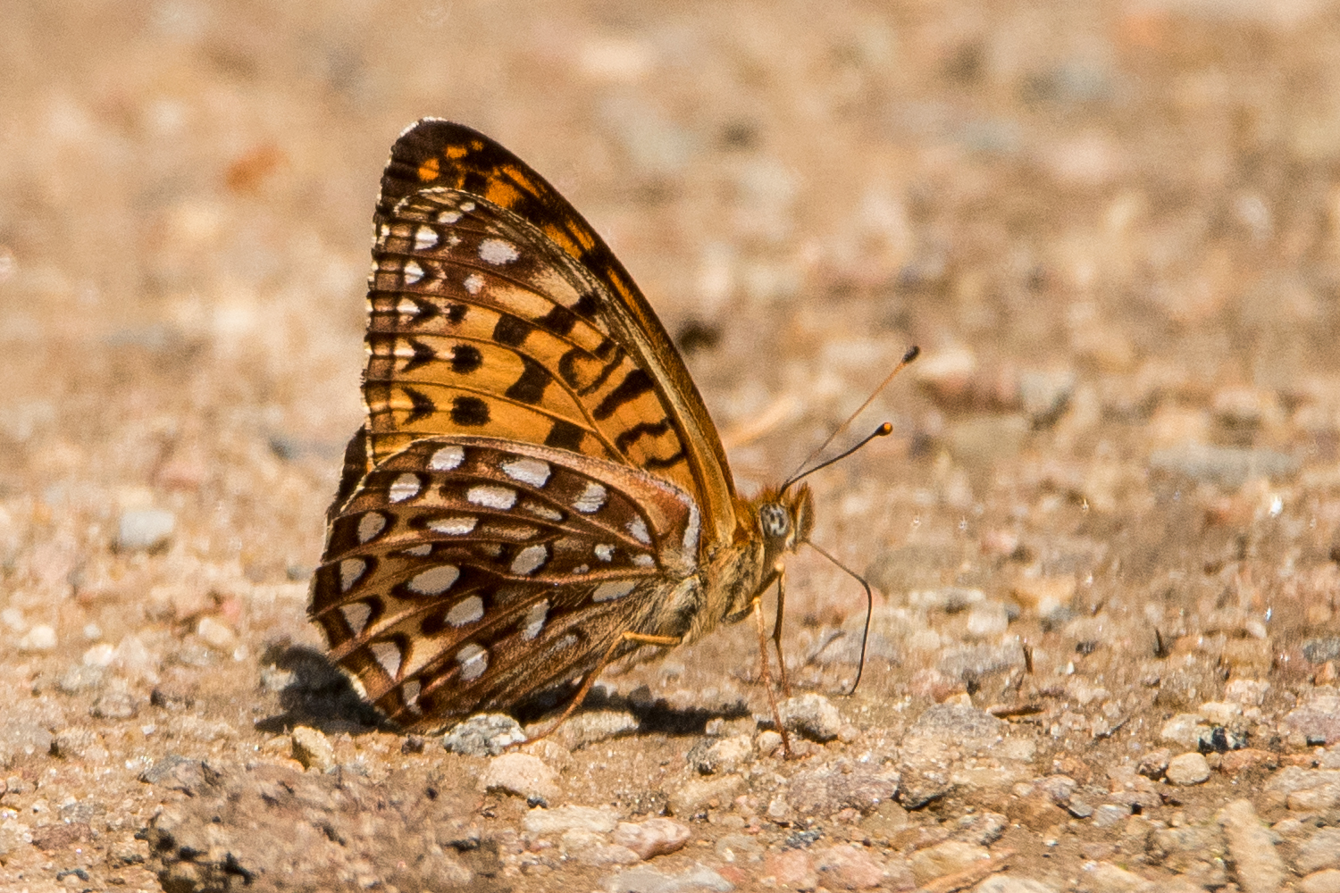 image of Atlantis Fritillary