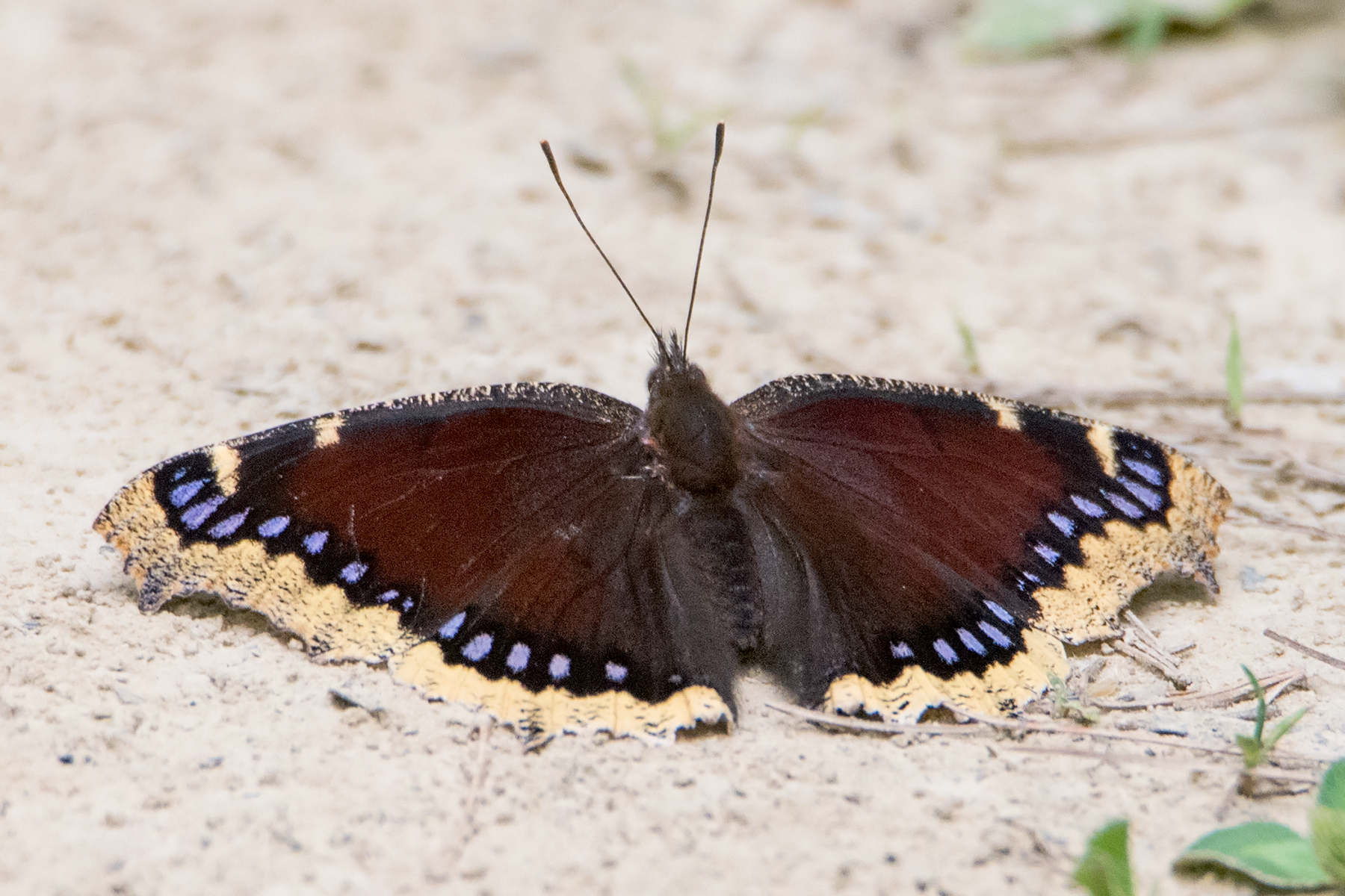 image of Mourning Cloak
