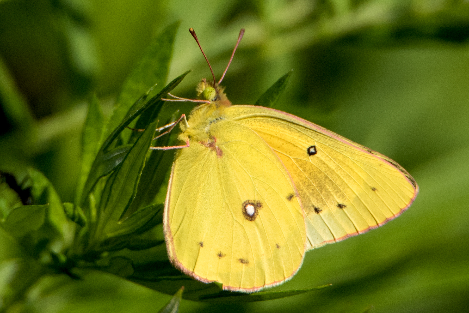 image of Orange Sulphur