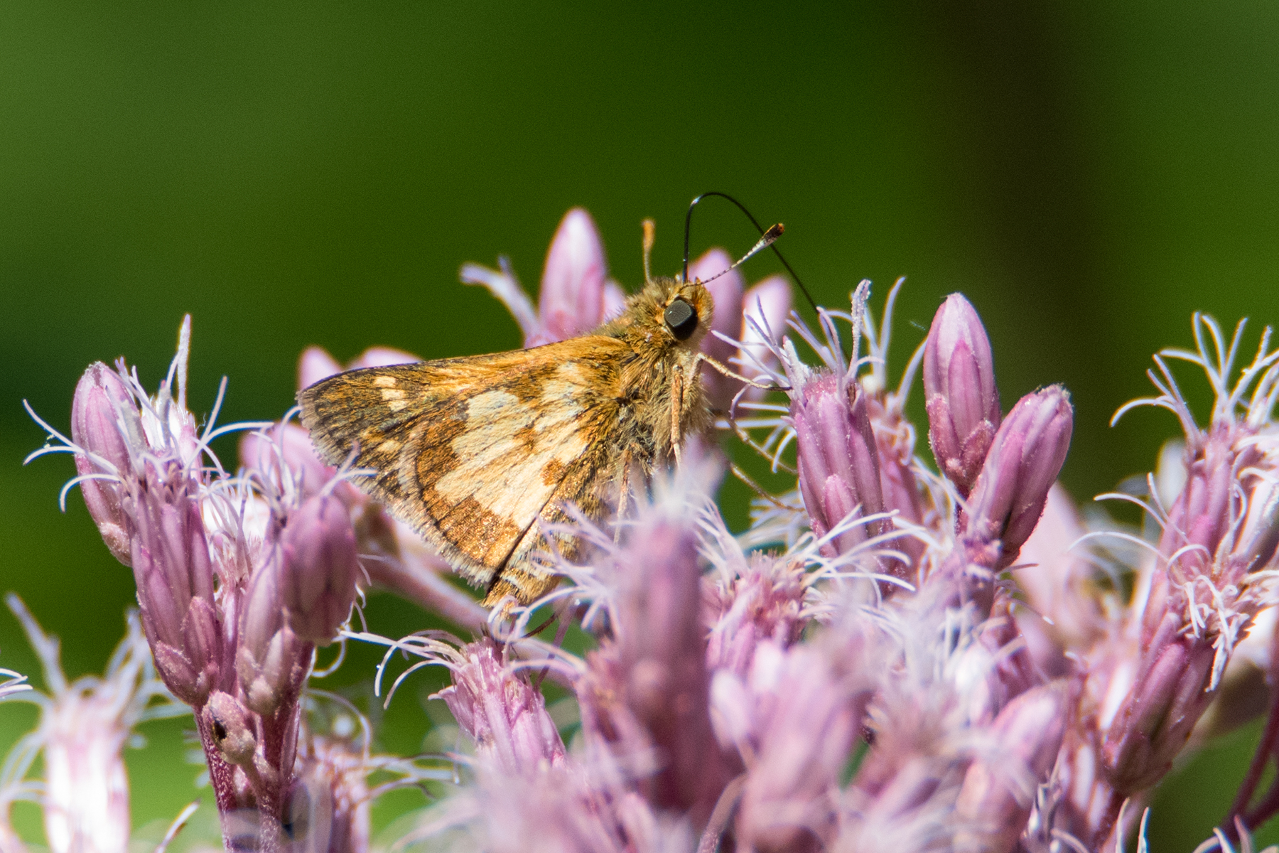 image of Peck's Skipper