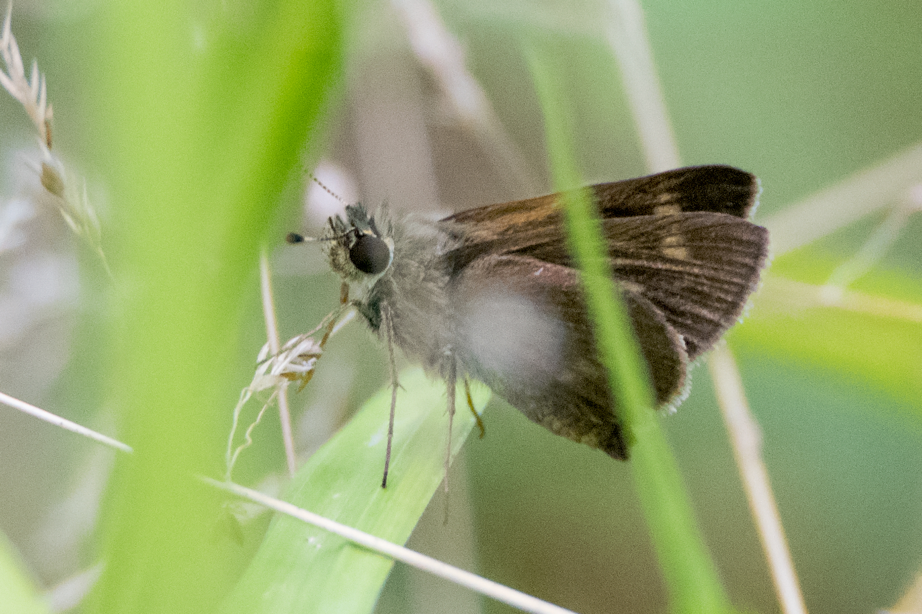 image of Crossline Skipper