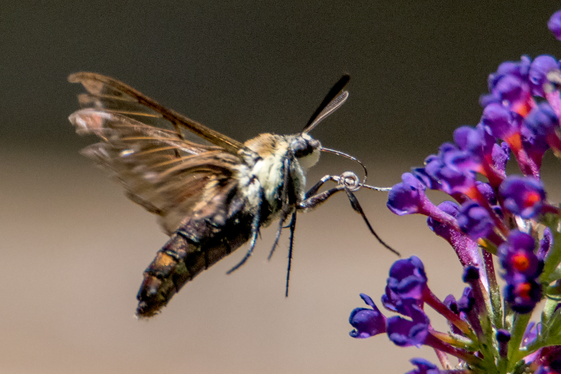 image of Snowberry Clearwing